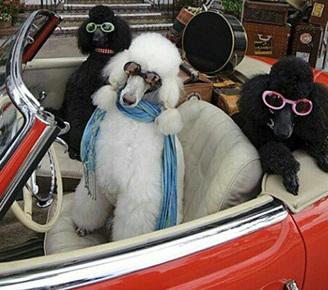 富豪爱犬奢靡生活照