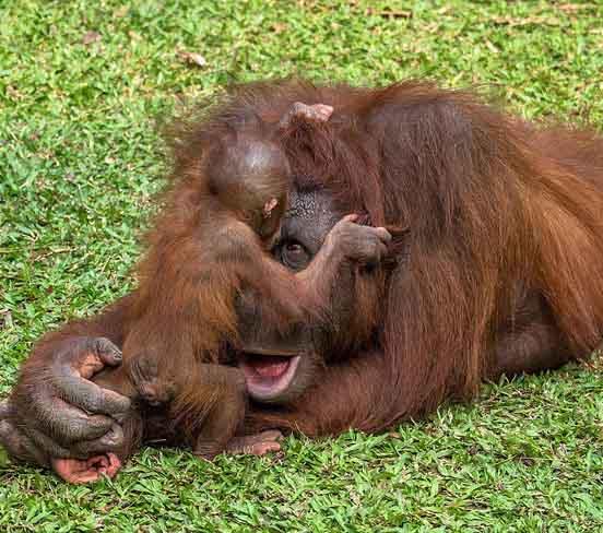 小猩猩闹醒打盹妈妈可爱撒娇