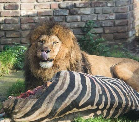 动物园处死斑马喂食狮子
