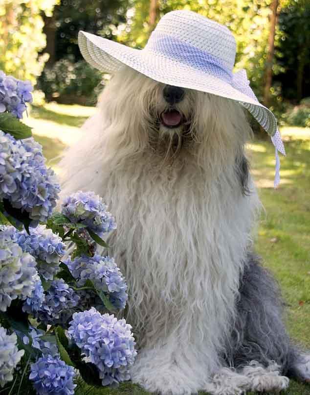 牧羊犬萌态可掬受欢迎