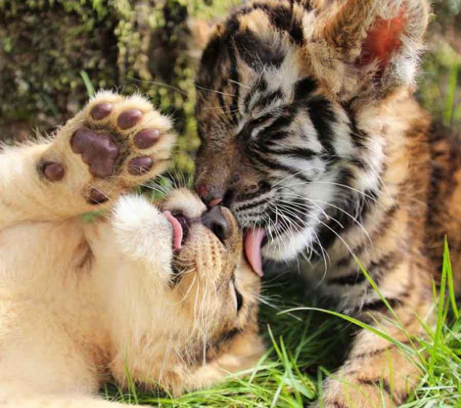 日本动物园虎崽和幼狮成好朋友 形影不离携手卖萌