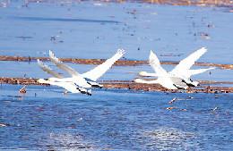 達拉特旗黃河岸邊的灘頭濕地迎來了3萬多只白天鵝嬉戲覓食