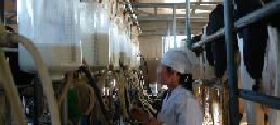 三潔養殖專業合作社機械化擠奶