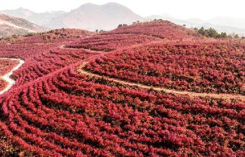 藍莓入冬時 紅葉滿山坡