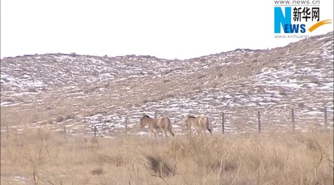 中蒙边境再现世界濒危动物蒙古野驴踪迹