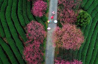 福建:茶園櫻花綠映紅