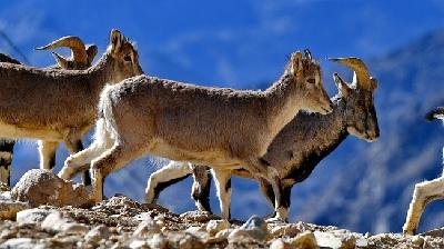 珠峰保護區:野生動物的棲息樂園