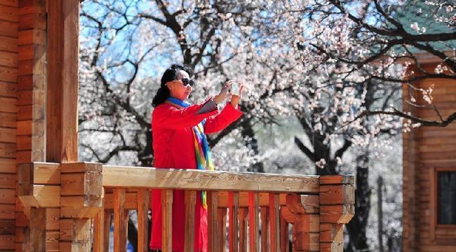 春暖山杏花開