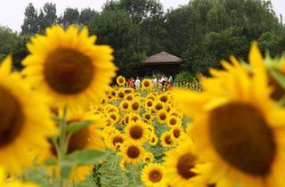 北京:葵花開 引人來
