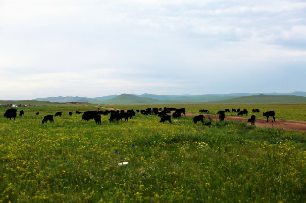 """【新时代·幸福美丽新边疆】内蒙古牧民尝到了标准化养殖""""甜头"""""""