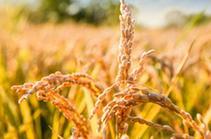 秋糧收儲政策知識