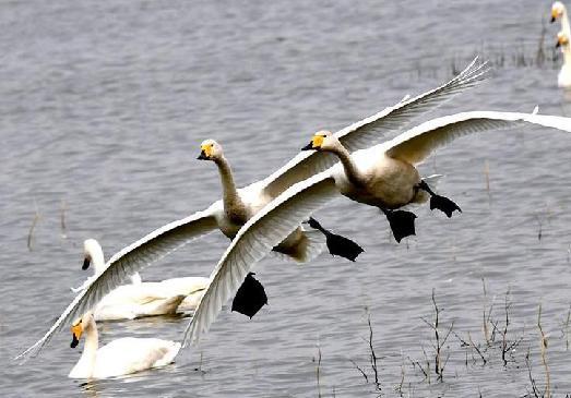 """黃河濕地""""天鵝湖"""""""