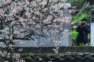 浙江建德:萬畝櫻花盛開