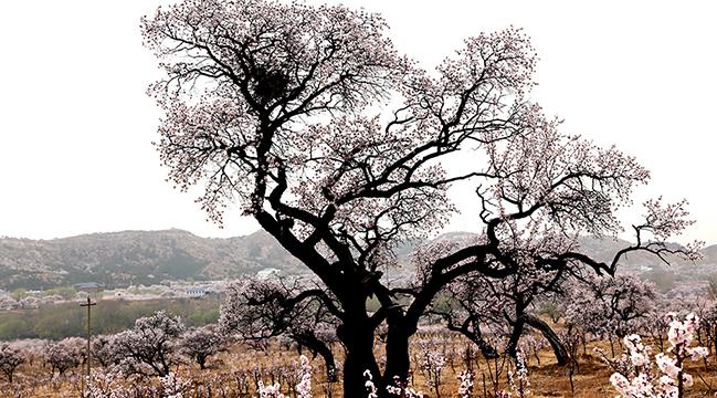 百年杏樹 歲月靜好