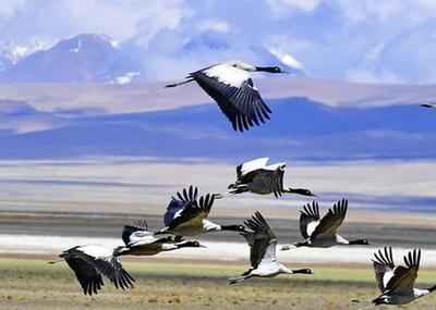 多慶湖畔黑頸鶴