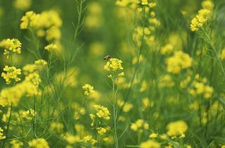 遼寧沈陽:油菜花開美如畫
