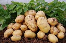 專家學者把脈內蒙古馬鈴薯産業綠色發展