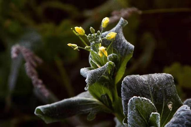 呼倫貝爾農作區出現初霜凍