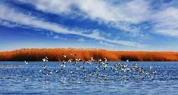 飛鳥集翔 內蒙古烏梁素海濕地迎來大批南遷候鳥