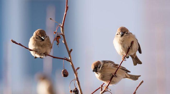 雀上枝頭享春光