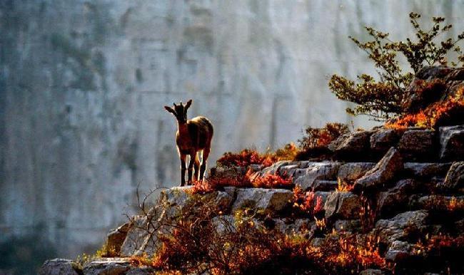 """""""岩羊爸爸"""":在懸崖峭壁間守護山中精靈"""