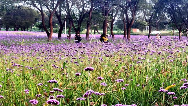 大青山下的紫色花海
