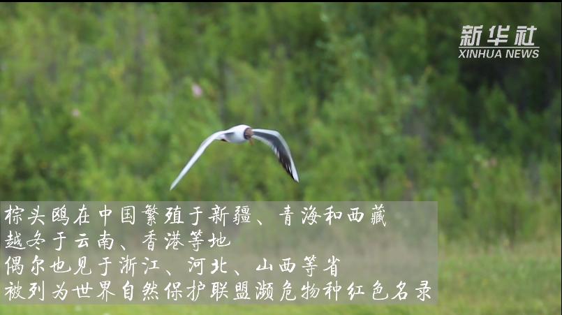 內蒙古發現棕頭鷗遷徙蹤跡