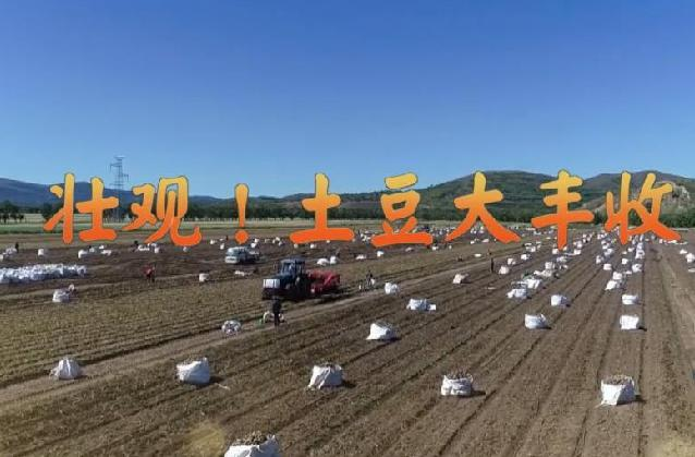 壯觀!土豆大豐收