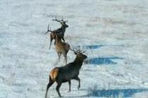 內蒙古黃崗梁國家森林公園野生馬鹿增長到3400多只