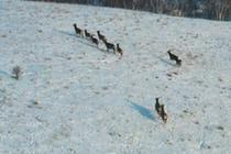 -30℃冰天雪地 他們悉心守護野生馬鹿