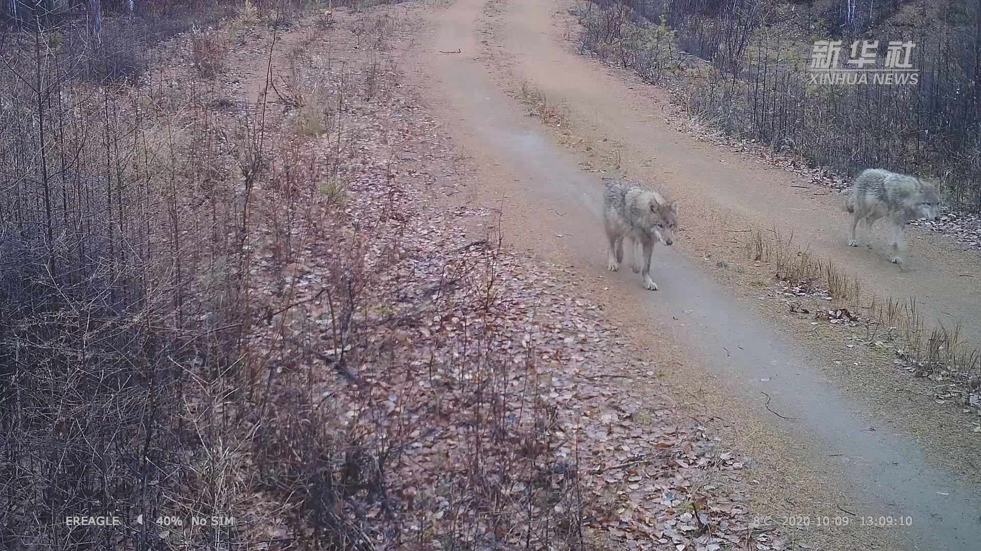 狼來了!5匹