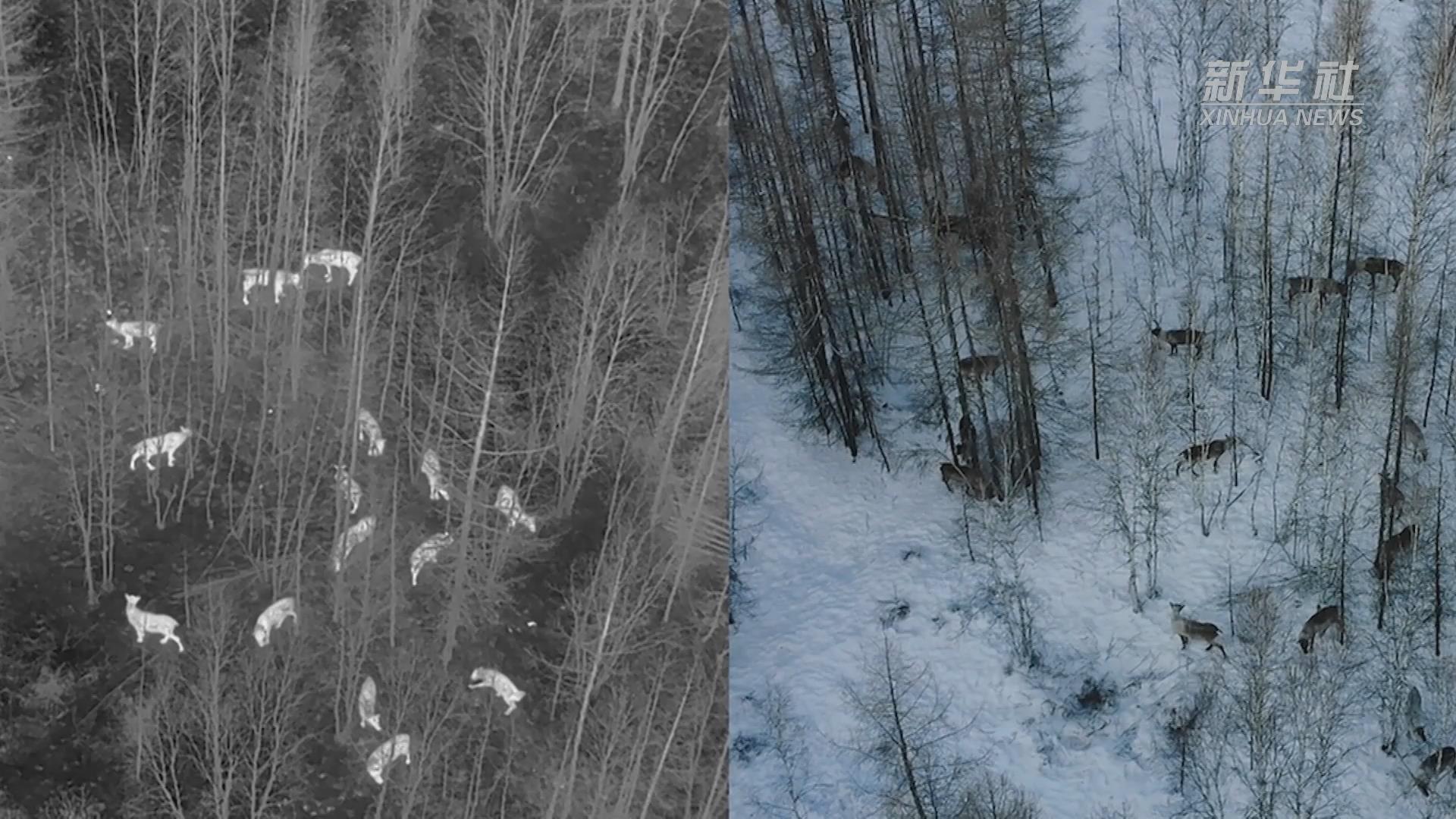 無人機拍到野生動物