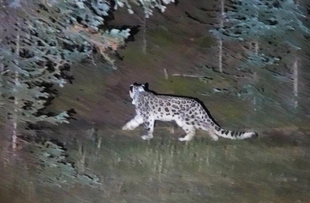 一只雪豹在賀蘭山被放歸自然